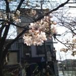 XPERIAで桜を撮りに