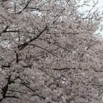 八幡市背割堤の桜